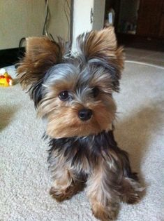 Image via 12 Reasons Why You Should Never Own Yorkshire Terriers. JUST TOO CUTE Image via 20 of the cutest small dog breeds on the planet Image via Yorkshire terrier by ana. Yorkies, Yorkie Puppy, Baby Yorkie, Pomeranian Dogs, Chihuahua Dogs, Yorky Terrier, Yorshire Terrier, Bull Terriers, Chien Yorkshire Terrier