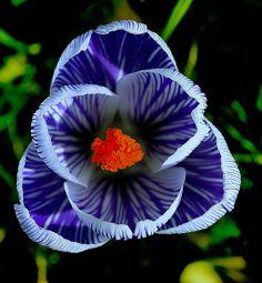 Crocus Flower Close-Up