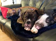 Adorable Pig And Her Boxer Pals - A Place to Love Dogs