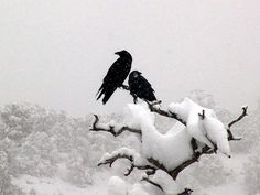 """The way a crow Shook down on me The dust of snow From a hemlock tree Has given my heart A change of mood And saved some part Of a day I had rued."" ~Robert Frost: ""Dust of Snow"" The Crow, Quoth The Raven, Raven Bird, Jackdaw, Crows Ravens, My Demons, Beltane, All Nature, Winter Wonder"