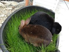 Grow grass in a plastic tub for bunnies who are in runs or indoors. Wheat grass seeds and timothy hay seeds are available online. Remember to use organic soil.