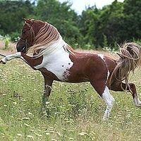 Indian Pony Wallpaper | ... horse Indian pony solid tovero overo frame sabino tobiano rabicano
