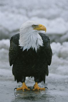 An American Bald Eagle Stands by Klaus Nigge - An American Bald Eagle Stands Photograph - An American Bald Eagle Stands Fine Art Prints and Posters for Sale