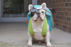 Le superbe Manny the French Bulldog goes 'Back to School'.