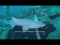 "Nautilus Shark Week! Sand Tiger sharks, Carcharias taurus, filmed during dives on the shipwrecks off the N.C. coast. Many of the wrecks were torpedoed by German U-boats during WWII and the sharks congregate around these wrecks to feed and reproduce. BTW a school of sharks is also known as a ""shiver"" of sharks. From the Nautilus Productions LLC stock footage collection.  #NautilusProductions #StockFootage #shark #sharkweek #SandTiger #Carchariastaurus #stockvideo"