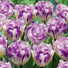 Double Shirley tulip