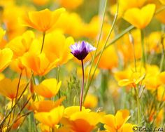 Beautiful yellow flowers wallpaper beautiful yellow flowers california poppies photo wildflower by naturevisionstoo on etsy 4000 yellow flower pictures yellow flowers mightylinksfo