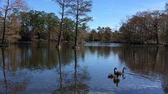 The black swans. #sumter #BlackSwans #lake #Hiking #Nature #IPhonePhotography #ITookThisWithMyIPhone #Water #Birds