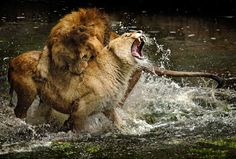 , also known as the Atlas lion. Extinct in the wild Big Cats, Cool Cats, Beautiful Cats, Animals Beautiful, Animal Action, Male Lion, Wild Creatures, Hyena, Predator