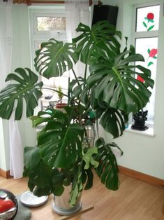 A plant made from swiss cheese Monstera Deliciosa, Indoor Plants, Plant Leaves, Swiss Cheese, Garden, Witch, Random, Design, Home Decor