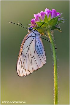 Butterflies & Insects - Aporia crataegi