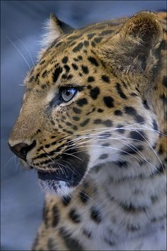 Clouded cheetah