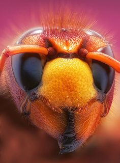 Photograph Vespa crabro by Leon Baas on 500px