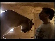Affectionate cougar shows her owner with rubs and kisses. Before making any negative remarks about this video, get the facts. 1. I rescued her in 1998 when s...