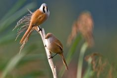 Baardmannetjes zijn vogeltjes die in groep samenleven. Ze zitten heel graag tegen elkaar en doen alles samen. Ze immiteren elkaars gedrag.  Ook het kweekgedrag. Bij mij zitten 2 koppels naast elkaar in vluchtjes van 1m x 2m en 2m hoogte.