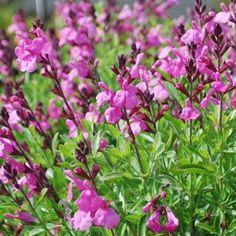 72 best primrose images primroses garden express back. Black Bedroom Furniture Sets. Home Design Ideas