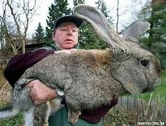 Flemish Giant Rabbits for sale.,complete details about Flemish Giant Rabbits for sale. provided by Flemish Giant Rabbits for sale. You may also find other Flemish Giant Rabbits for sale. Giant Bunny, Big Bunny, Flemish Giant Rabbit, Giant Rabbit Breeds, Funny Animals, Cute Animals, Bizarre Animals, Large Rabbits, Bunny Rabbits