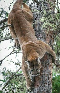 Cougar (mountain lion, puma) climbing down a tree headfirst. Look at the muscles rippling under its coat. Maybe it's stealthily stalking his or her prey! Artic Animals, Animals And Pets, Cute Animals, Big Cats, Cool Cats, Cats And Kittens, Nature Animals, Woodland Animals, Beautiful Cats
