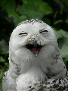 Amazing Animals Pictures: Fun and laughter with the Snowy Owl (Bubo scandiacus) Pics) Animals And Pets, Baby Animals, Funny Animals, Cute Animals, Baby Owls, Smiling Animals, Wild Animals, Beautiful Owl, Animals Beautiful