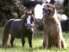 Najmniejszy koń świata: 43.18 cm wysokości