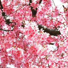 Plum blossoms. #flowers #flowerstagram #spring #springday #plumblossom