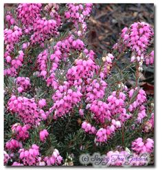 """Kramer's Rote Heath. The clouds of magenta flowers cover this plant for a long period of time from winter into spring. The foliage has a dark bronze-green color. This cultivar is a cross  between Erica carnea 'Myretoun Ruby' and Erica erigena 'Brightness', and has the flower color of 'Myretown Ruby' with foliage similar to Erica carnea 'Vivellii'. Winner of the Award of Garden Merit trophy. 15"""" x 24"""""""