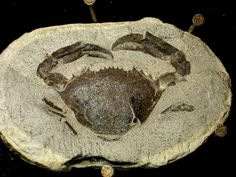 Crab fossil preserved in concretion