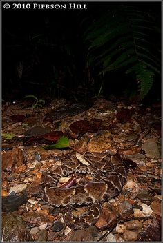 Mapapire Balsain (Bothrops asper)