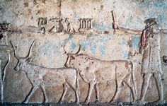 AGRICULTURAL SCENE WITH OXEN, RELIEF FROM VESTIBULE OF TOMB OF PETOSIRIS, NECROPOLIS OF KHMUN (OR HERMOPOLIS), TUNA EL-GEBEL, EGYPT, EGYPTIAN CIVILIZATION, PTOLEMAIC KINGDOM, HELLENISTIC ERAAgricultural scene with oxen, relief from the vestibule of the tomb of Petosiris, necropolis of Khmun (or Hermopolis), Tuna el-Gebel, Egypt. Egyptian civilisation,...