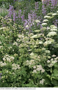 astrantia major sunningdale variegated (masterwort) met cenolophium denudatum en penstemon.