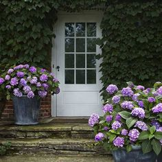 Hydrangeas, giving a Lilac welcome. (work that one out.)