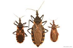 Kissing bugs carry Chagas disease that can infect humans and pets. This link has photos of kissing bugs and imposters and details on what to do if you find one.