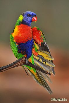 The Rainbow Lorikeet, is a species of Australasian parrot found in Australia, eastern Indonesia, Papua New Guinea, New Caledonia, Solomon Islands and Vanuatu...Rainbow Lorikeet | Mike Godwin.