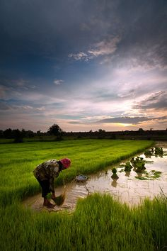 A Cambodian woman threshes stalks of rice grass under a rising sun and climbing temperatures just outside Phnom Penh, Cambodia.