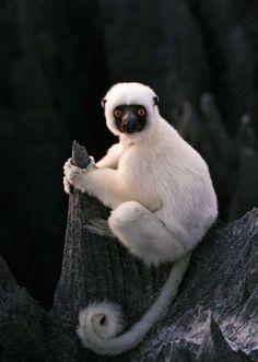 Primati/Sifaka dalla corona dorata(Propithecus Tattersalli): Lemure della famiglia degli Indriidae. Diffuso in una piccola area di circa 88.000 ha di foresta decidua secca nel nord-est del Madagascar.