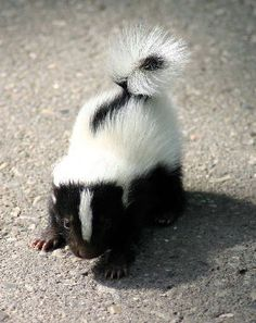 baby skunk stinking its way straight into my heart (SQUEE! Cute Creatures, Beautiful Creatures, Animals Beautiful, Animals And Pets, Funny Animals, Baby Skunks, Tier Fotos, Mundo Animal, Cute Little Animals