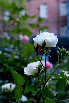 Rose flower in garden of Mitsubishi Museum, Marunouchi Tokyo