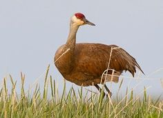 Sandhill Crane  © Gerrit Vyn Whether stepping singly across a wet meadow or filling the sky by the hundreds and thousands, Sandhill Cranes have an elegance that draws attention. These tall, gray-bodied, crimson-capped birds breed in open wetlands, fields, and prairies across North America