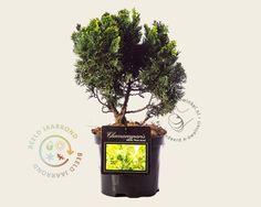 Koop online bij onze tuinplanten webshop de Chamaecyparis obtusa 'Nana Aurea' 020/25 | Japanse cipres / Schijncipres | Gratis verzending! | Binnen 2-4 werkdagen bezorgd! | Tuinplantenwinkel.nl