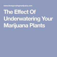 The Effect Of Underwatering Your Marijuana Plants