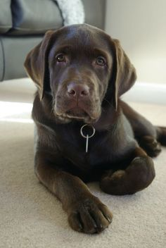 Mind Blowing Facts About Labrador Retrievers And Ideas. Amazing Facts About Labrador Retrievers And Ideas. Labrador Retrievers, Golden Retrievers, Retriever Dog, Black Lab Puppies, Cute Puppies, Cute Dogs, Dogs And Puppies, Doggies, Labrador Retriever Chocolate