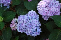 Best Hydrangeas to Grow Right Now or Anytime