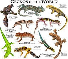 Geckos of the World by rogerdhall on DeviantArt