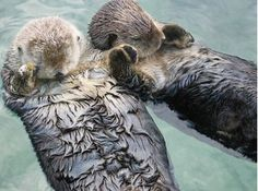 Is there a marine mammal cuter then a sea otter? Doubtful.