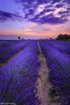 Lavende - Valensole - Provence - France by Maxence Boyer