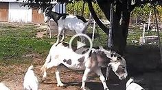 Image: Video still of a goat on a donkey (Courtesy of Rumble)
