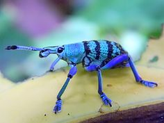 Eupholus weevil - Eupholus schoenherri–E. magnificus - complex, from Project Noah. Looks like he has on blue booties