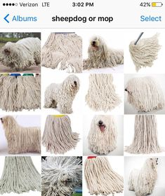 Dog or mop? Miss Zack does not just compare animals to food - she also made this montage of dogs that look identical to mops Cat Memes, Funny Memes, Jokes, Funny Dogs, Gato Animal, Funny Animals, Cute Animals, Komondor, Labradoodle