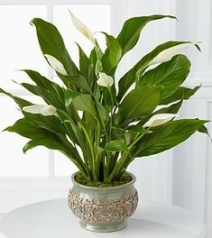 Peace Lily - Spathiphyllum - has white fan like flowers that bloom and dark green foliage. This is considered to be a hardy plant and great to keep indoors. Only needs to be watered once every 7 to 10 days. I have this plant and I love it because it is so low maintenance, even if your gone for more then a week and haven't watered they'll still be alive. After you water them they'll bounce back quickly and perk up again, they are just great plants to have indoors.    THIS IS MY PLANT