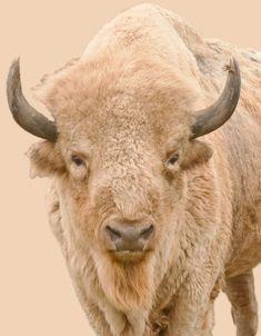white bison ? | White Buffalo – White Buffalo Western